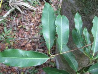 pouteria-amygdalina-la-milpa-belize-img_0062