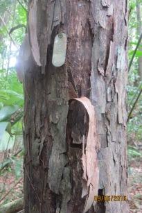 tagged-pouteria-reticulata-img_2614